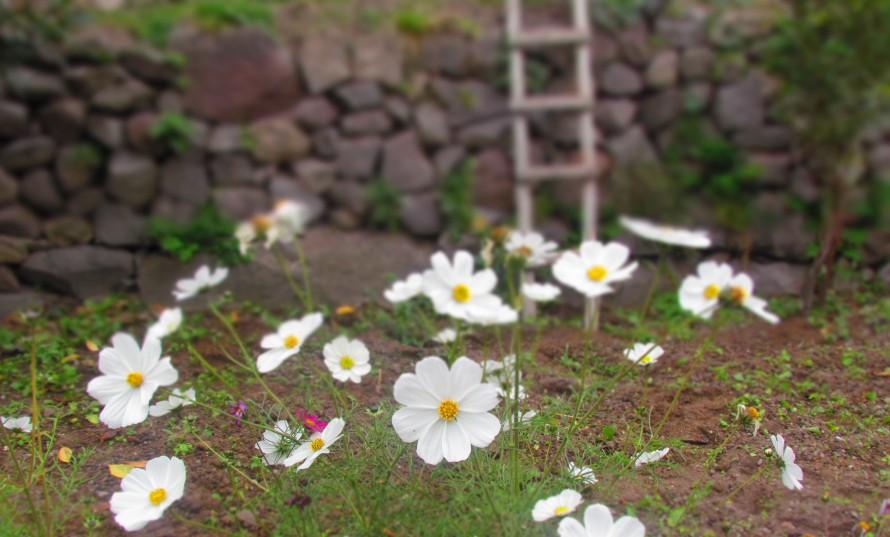 daisies-garden